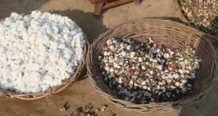 Hard Times For Cotton Growers, Textile Industry